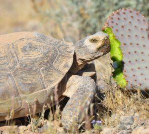 Tortoise Eating Beavertail